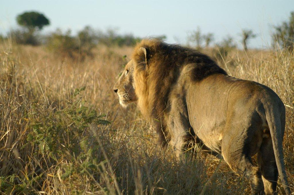 43% of lion population lost ...